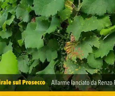 Allarme_Virus_sul_Prosecco_a_Colfrancui_e_dintorni.4